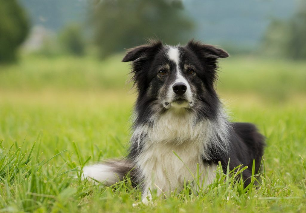 border collie tumbado