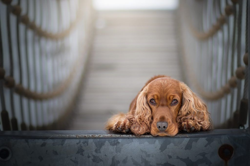 cocker spaniel marrón tumbado